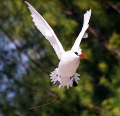 Several pairs of red-tailed tropicbird nest near the cantonment area.