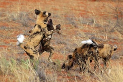 Play fighting after a kill, Tswalu Kalahari Reserve, South Africa