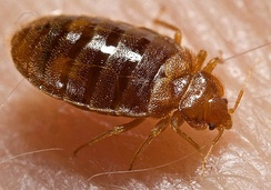 Trait loss: bed bug, Cimex lectularius, is flightless, like many insect ectoparasites.