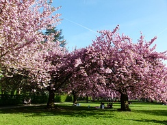 Blooming cherry blossom trees in Parc de Sceaux, France