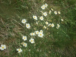 White rock-rose (Helianthemum apenninum) on the south cliff of Brean Down