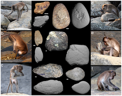 Crab-eating macaques with stone tools