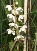 Pyrola rotundifolia LT.jpg
