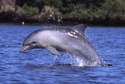 The common bottlenose dolphin is often seen in the Bay of Kotor.