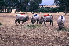 Testing Australian sheep for exhaled methane production (2001), CSIRO