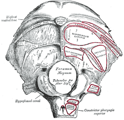 Outer surface of occipital bone