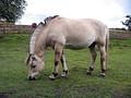 Саврасая лошадь породы фьорд