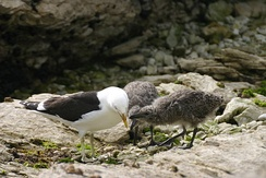 Kelp gull chicks peck at red spot on mother's beak to stimulate regurgitating reflex