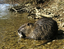 The coypu is hunted as a pest in Louisiana.