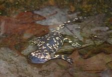 Подвид S. s. gallaica