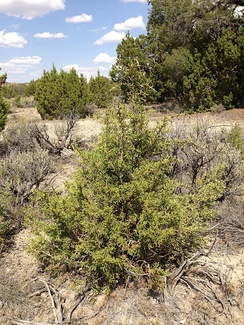 Juniperus osteosperma seedling along I-80 in northeastern Nevada