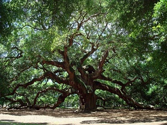 The Angel Oak on Johns Island, South Carolina. The man standing under the tree is 5 feet 11 inches (1.80 m) tall.