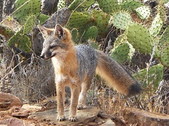 A Catalina Island Fox. Their population dwindled to 100 individuals before rebounding with the help from scientists from the USC Wrigley Institute for Environmental Studies.