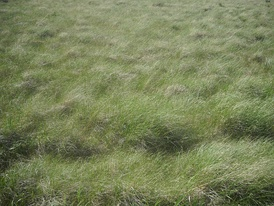 Wind-blown grass in the Valles Caldera in New Mexico