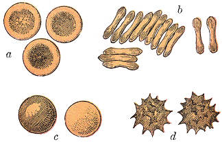 Typical mammalian red blood cells: (a) seen from surface; (b) in profile, forming rouleaux; (c) rendered spherical by water; (d) rendered crenate (shrunken and spiky) by salt. (c) and (d) do not normally occur in the body. The last two shapes are due to water being transported into, and out of, the cells, by osmosis.