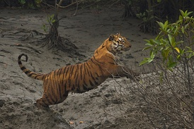 A 2015 census of Sundarbans Bengal tigers found 106 in Bangladesh and 76 in West Bengal.[47]