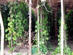 Betel Plant cultivation in Bangladesh