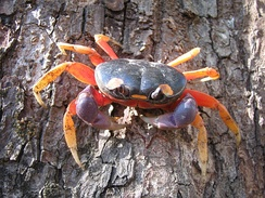 Gecarcinus quadratus, a land crab from Central America
