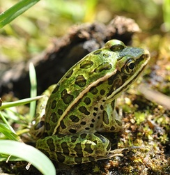 Many species of frogs live in wetlands, while others visit them each year to lay eggs.