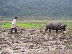 Невозможно представить обработку рисовых полей без буйвола