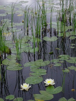 Water lilies and reeds represent two ecological categories of emergent aquatic vegetation.