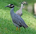 Yellow-crowned night heron (Nyctanassa violacea) in Florida