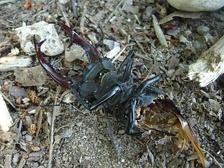 Птицы поедают лишь брюшко жуков, выкидывая голову с переднеспинкой