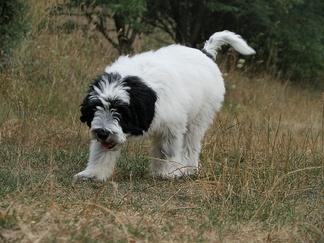 Трёхмесячный щенок польской низинной овчарки.