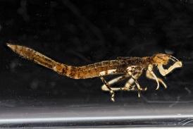 Личинка стрекозы. Хорошо заметна ловчая маска
