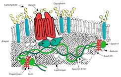 Red blood cell membrane major proteins