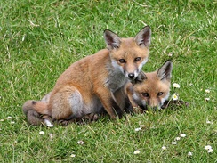 The red fox is common in Ireland.
