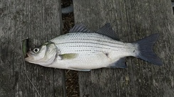 A white bass, caught in Grosse Pointe Woods, MI.