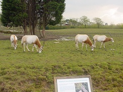 Scimitar-horned oryxes
