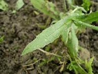 Capsella bursa pastoris 0.2 R.jpg