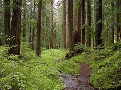 Old-growth forest and a creek on Larch Mountain, in the U.S. state of Oregon
