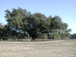 A southern live oak in South Carolina during winter