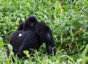 Gorilla mother with cub in Virunga National Park in the Congo