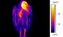 Some members of both the Old and New World vultures have an unfeathered neck and head, shown as radiating heat in this thermographic image