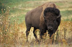 The American bison, Oklahoma's state mammal