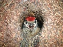 Подросшие птенцы кричат, высунувшись из гнезда
