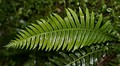 Fern leaf, probably Blechnum nudum