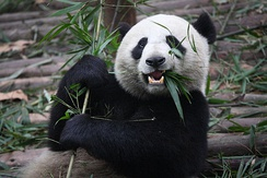 A giant panda, China's most famous endangered and endemic species, at the Chengdu Research Base of Giant Panda Breeding in Sichuan