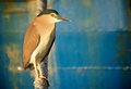 Nankeen or rufous night heron (Nycticorax caledonicus) at Fremantle Harbour, Western Australia