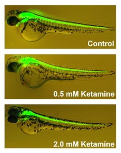 Effects of ketamine on Zebrafish development. Green areas indicate neurons, and increasing doses of ketamine reduced growth of neurons from the spinal cord.