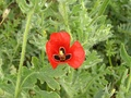 Red horned poppy (Glaucium corniculatum)