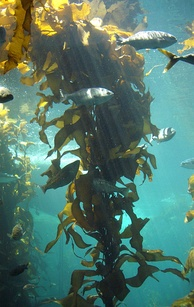 The kelp forest exhibit at the Monterey Bay Aquarium: A three-dimensional, multicellular thallus
