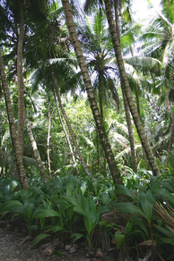 A thick forest of coconuts on Diego Garcia