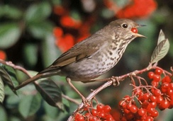 Hermit thrush (Catharus guttatus), like many Muscicapoidea a stout and cryptic bird with complex vocalizations.