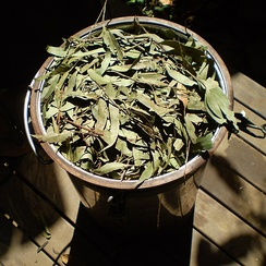 Leaves of Eucalyptus olida being packed into a steam distillation unit to gather its essential oil.