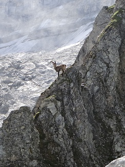Ibex in alpine habitat